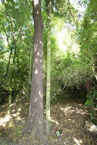 Matai tree within Deans Bush