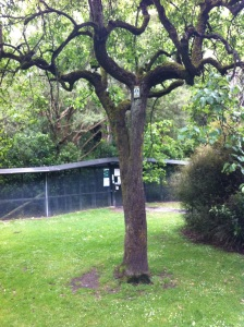 Oldest tree in Canterbury, at Riccarton Bush
